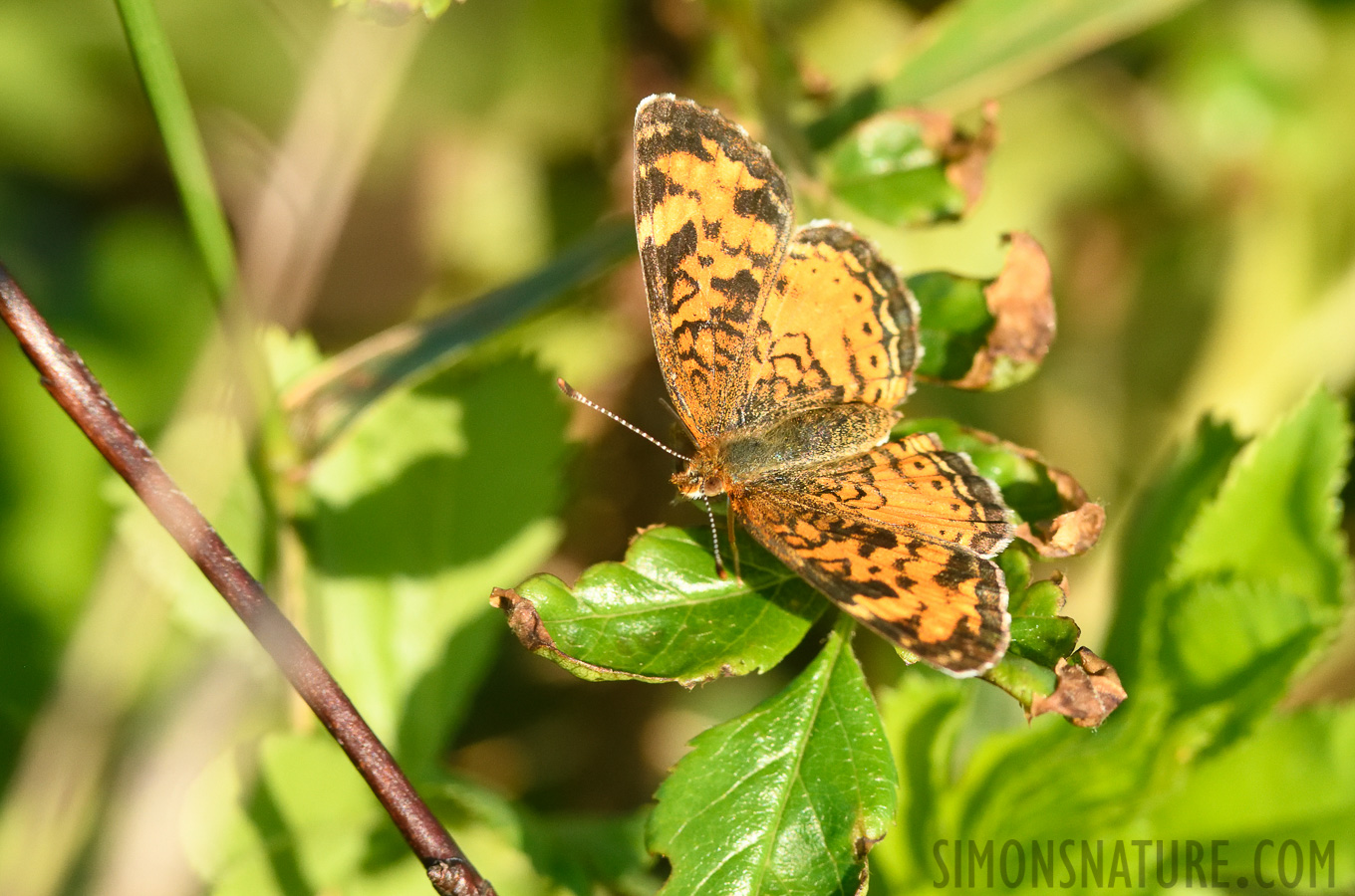 Phyciodes cocyta [400 mm, 1/1000 Sek. bei f / 8.0, ISO 1600]