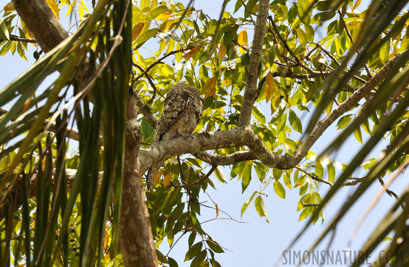 Great Potoo [Nyctibius grandis]