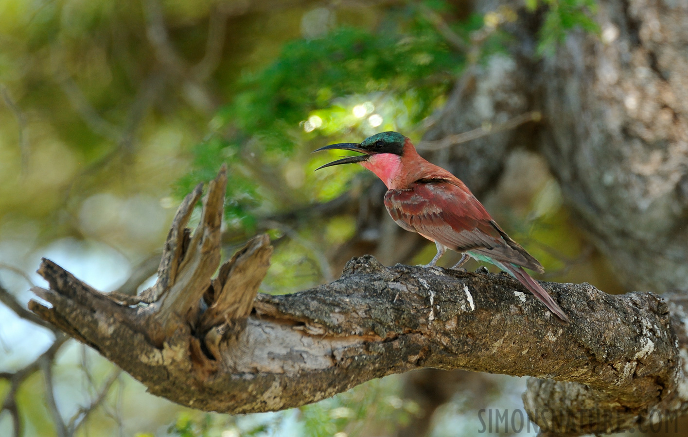 Southern carmine bee-eater [Merops nubicoides]