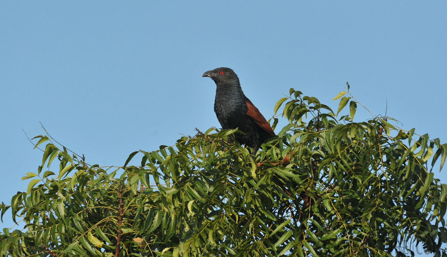 Greater coucal [Centropus sinensis parroti]