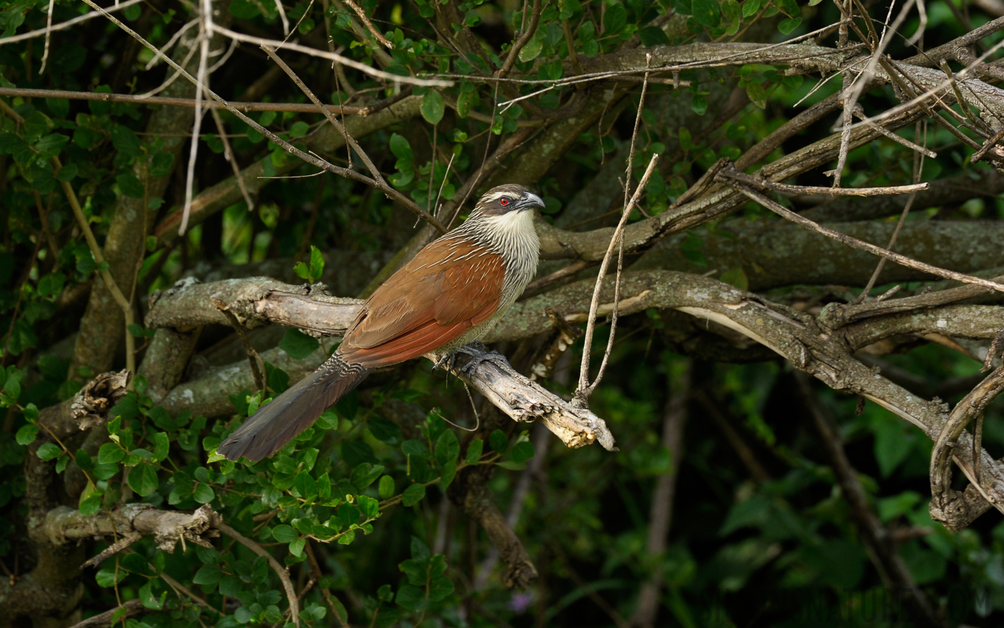 White-browed Coucal [Centropus superciliosus]