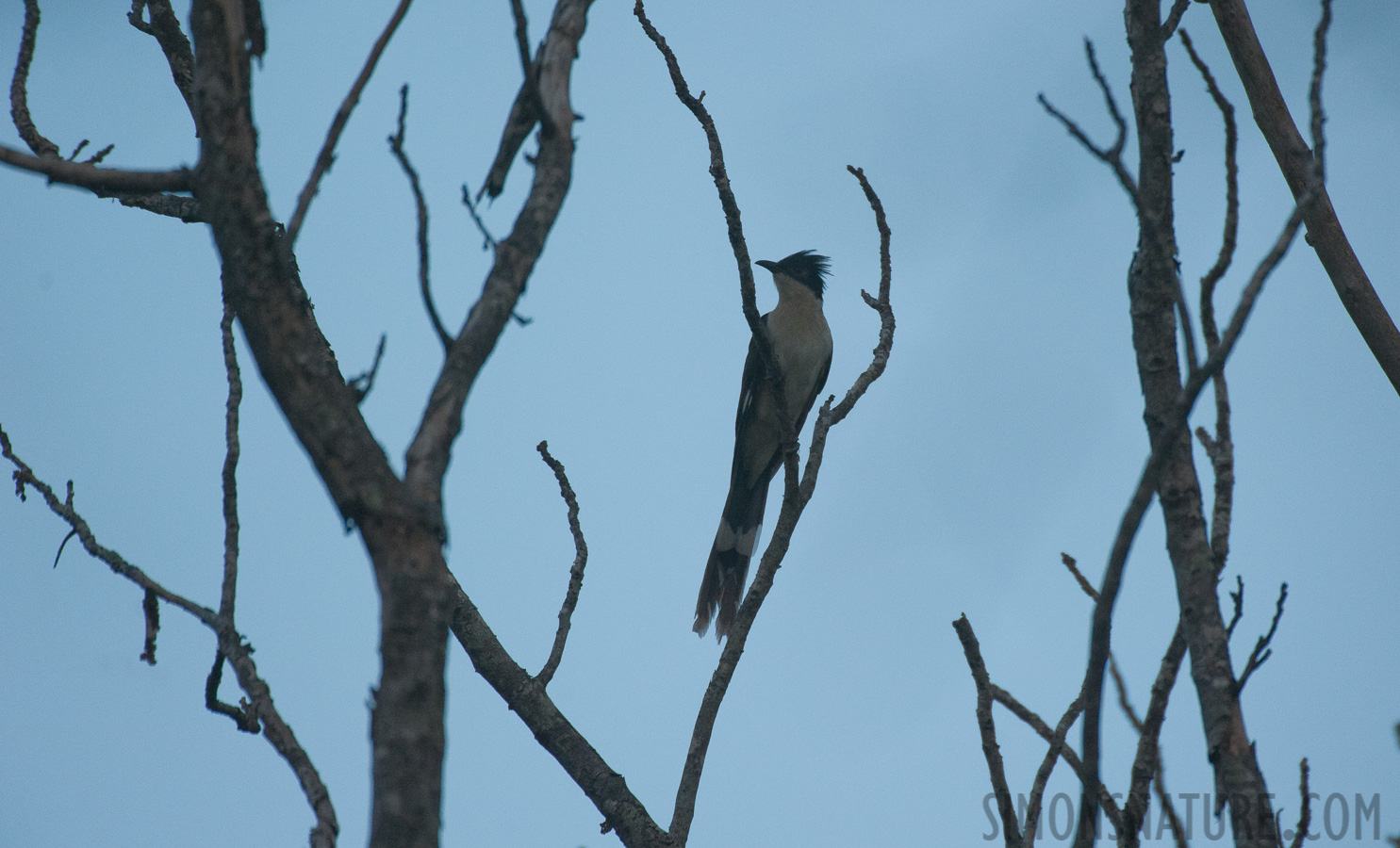 Jacobin cuckoo [Clamator jacobinus serratus]