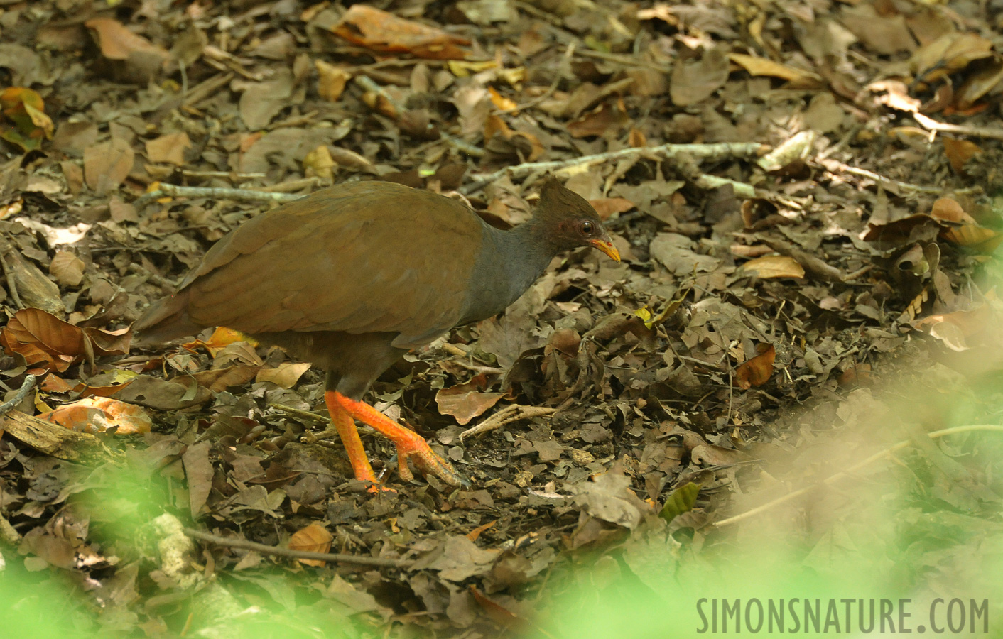 Orange-footed scrubfowl [Megapodius reinwardt reinwardt]