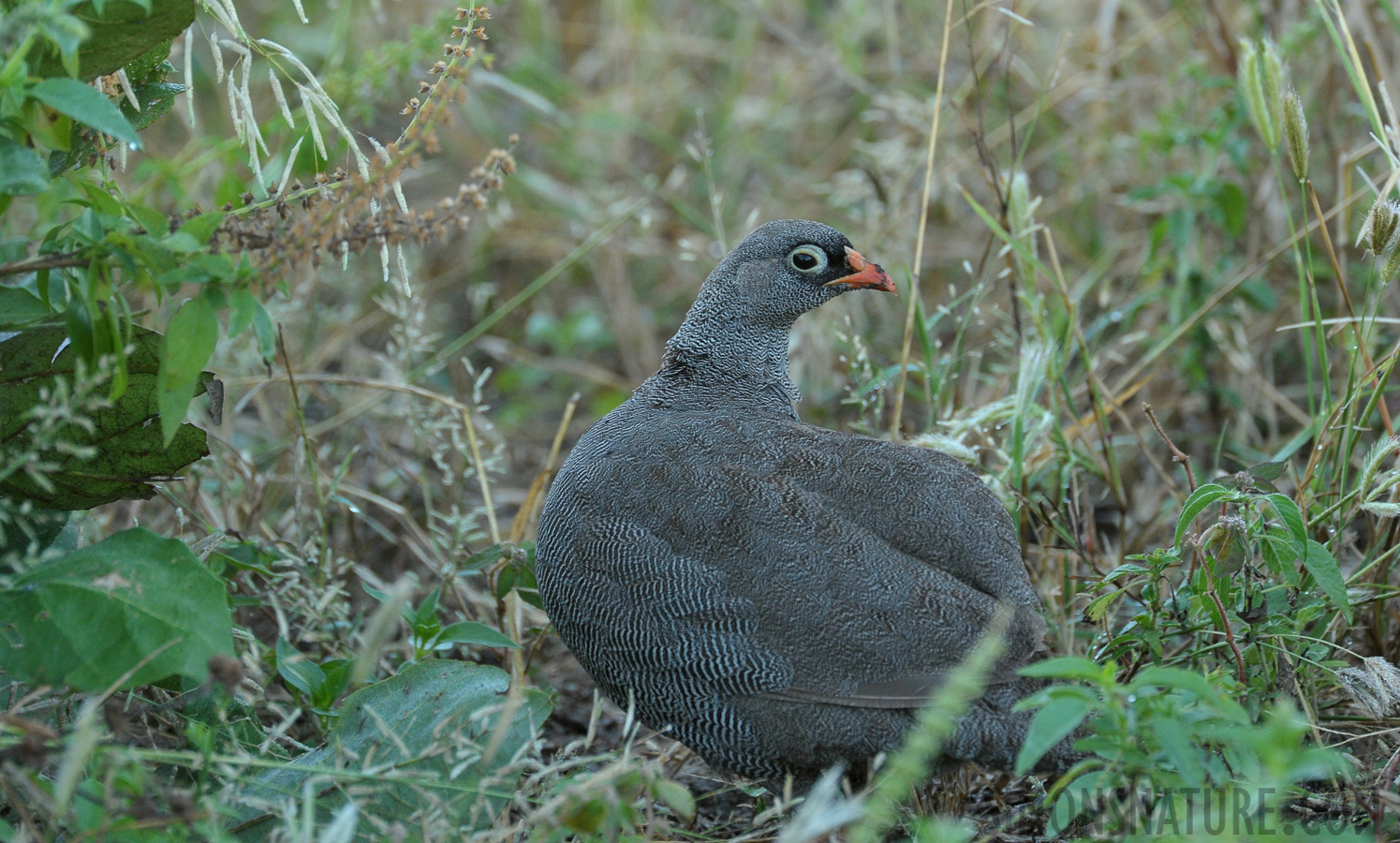 Red-billed spurfowl [Pternistis adspersus]