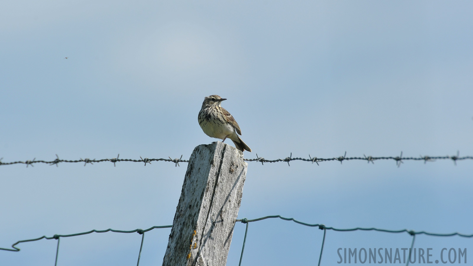 Meadow pipit [Anthus pratensis]