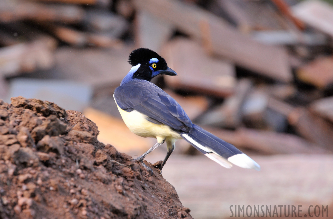 Plush-crested Jay [Cyanocorax chrysops]