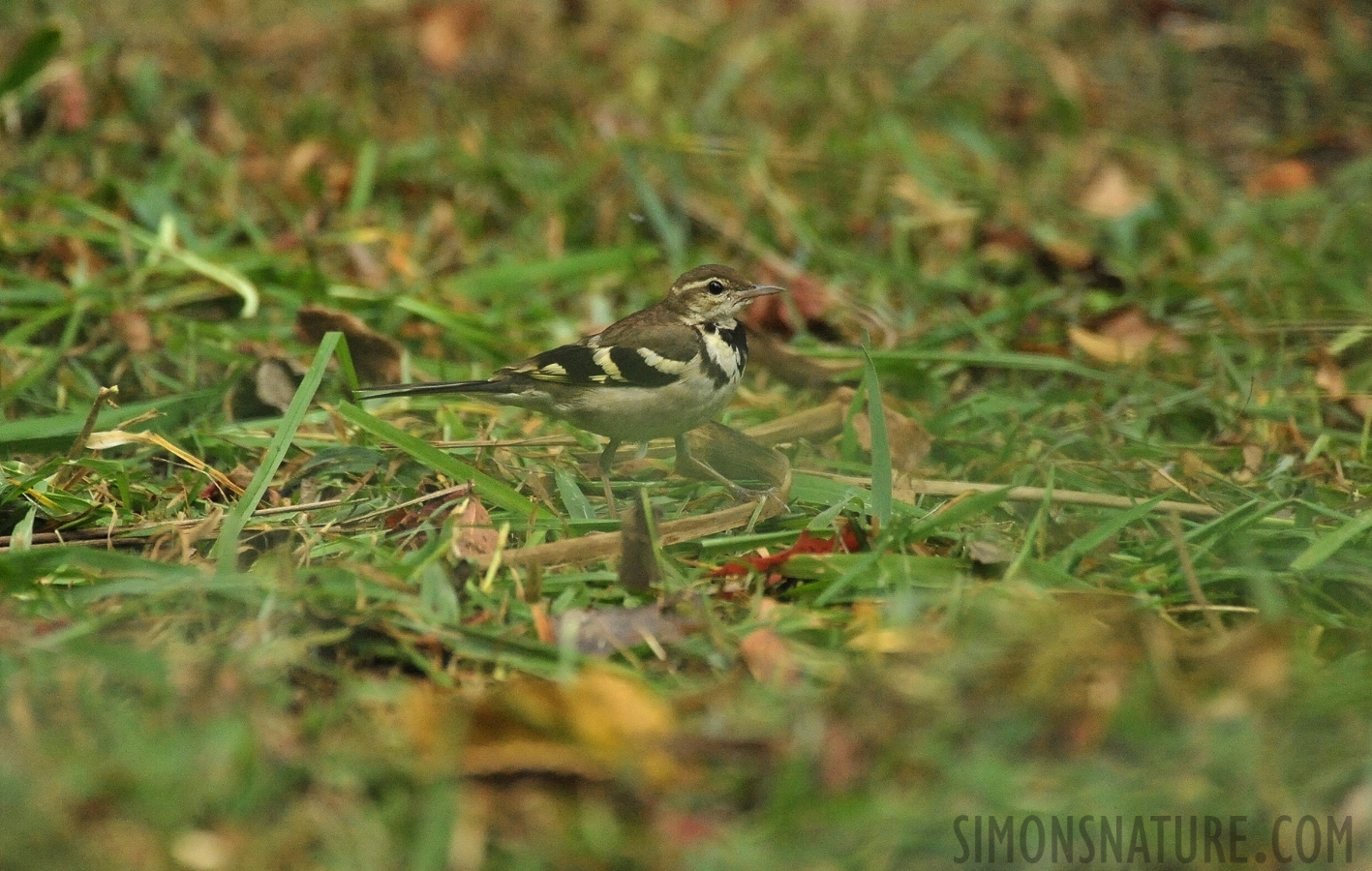 Forest wagtail [Dendronanthus indicus]