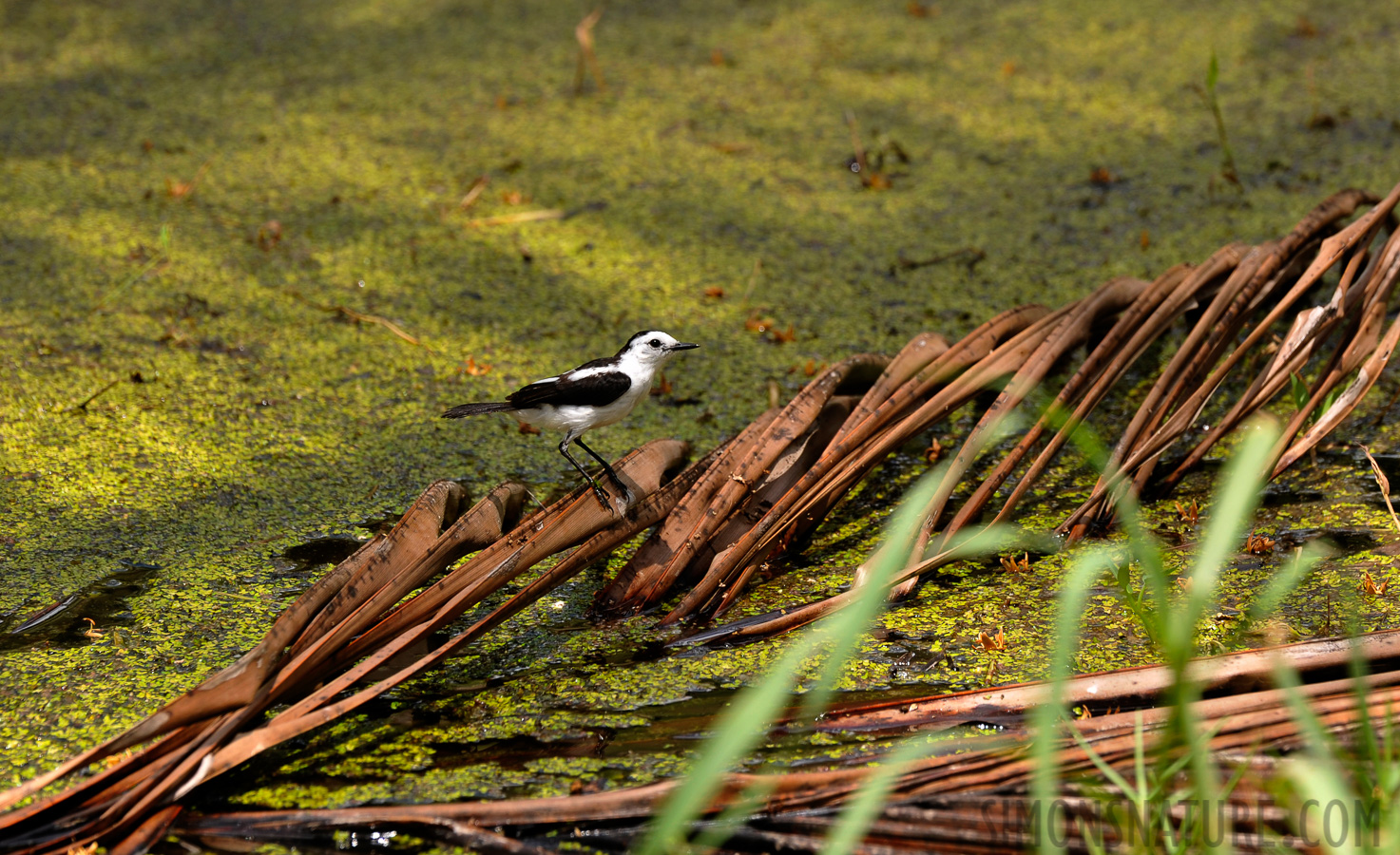 Pied Water-tyrant [Fluvicola pica]