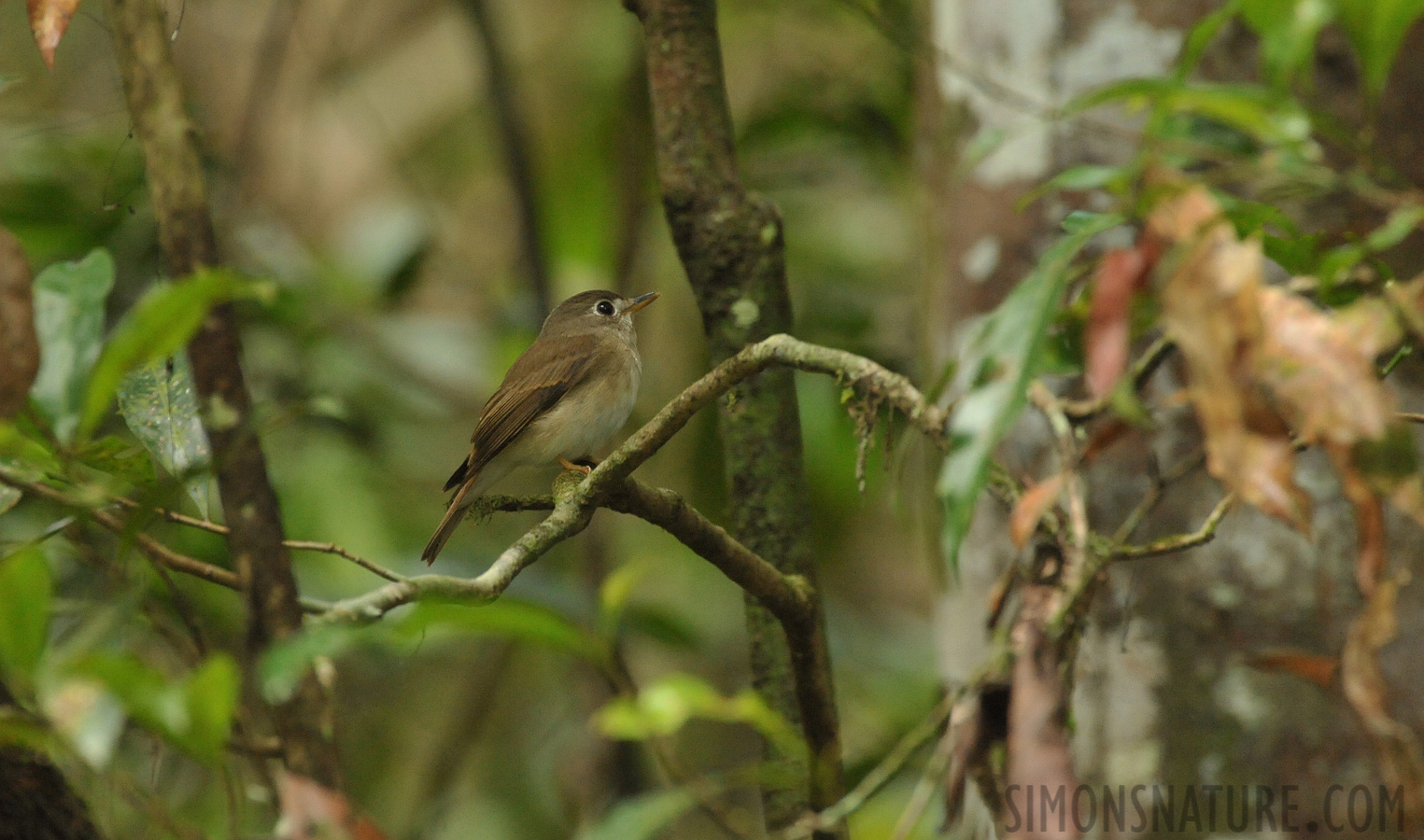 Brown-breasted flycatcher [Muscicapa muttui]