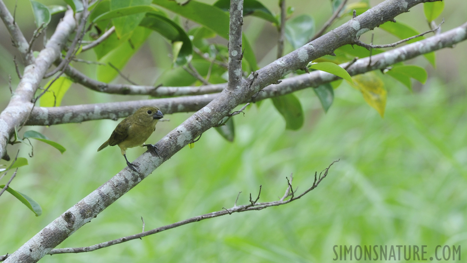 Large-billed Seed-finch [Oryzoborus crassirostris]