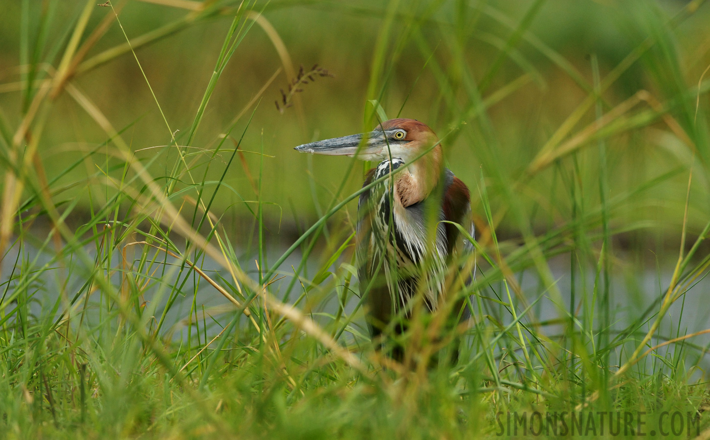 Goliath heron [Ardea goliath]