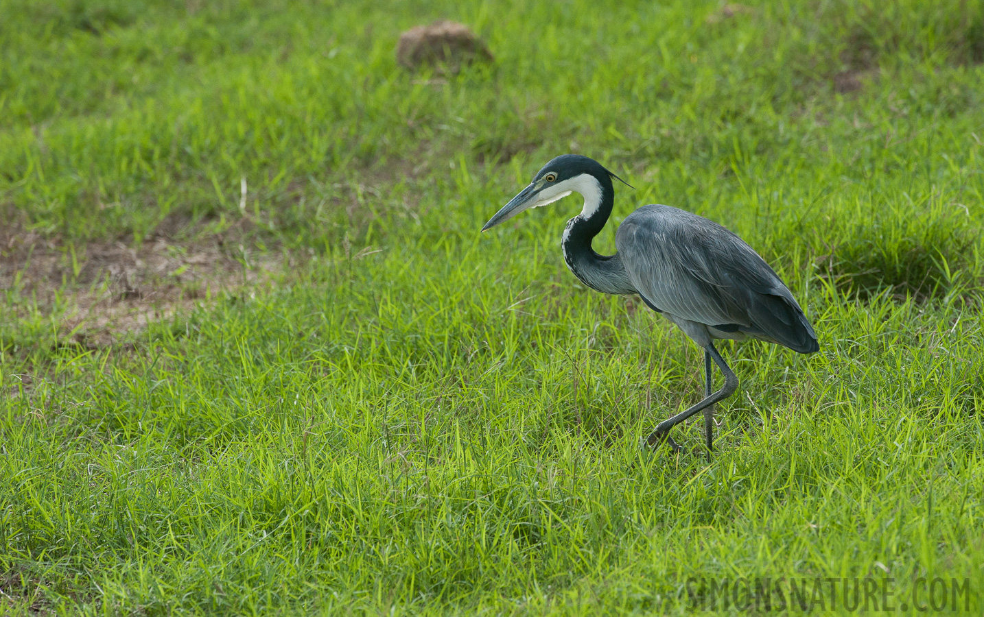 Black-headed heron [Ardea melanocephala]