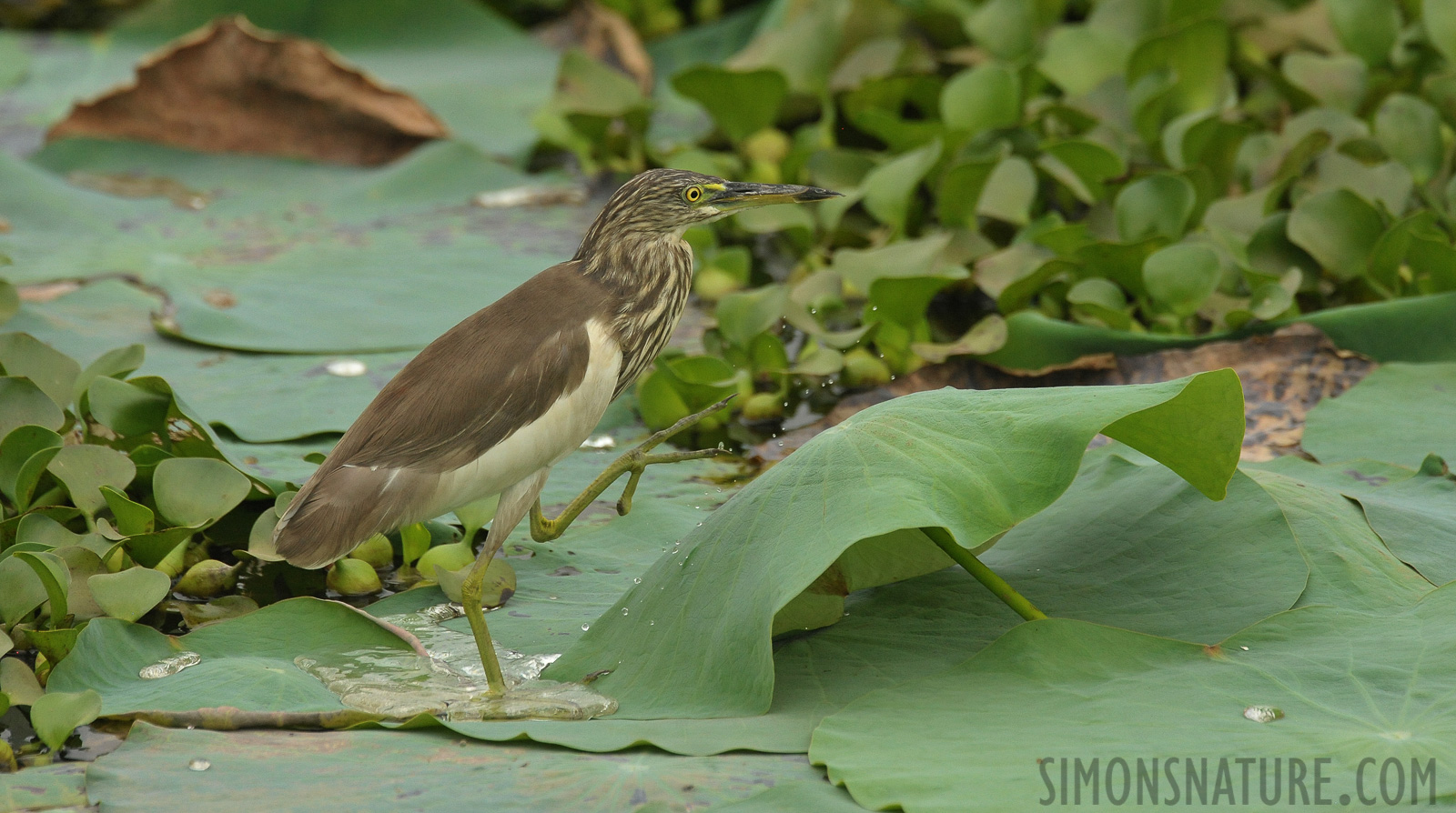 Indian pond heron [Ardeola grayii]
