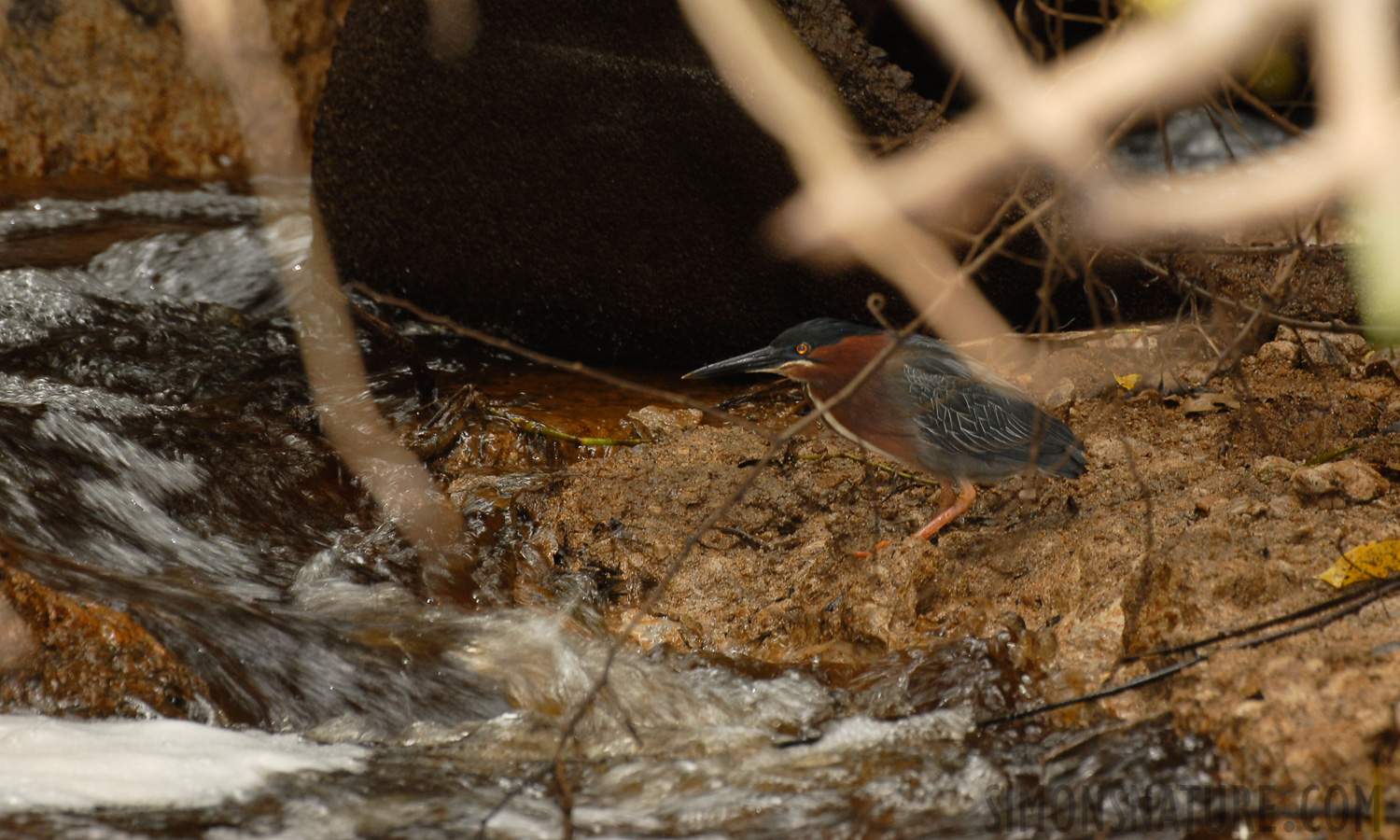 Green Heron [Butorides virescens]