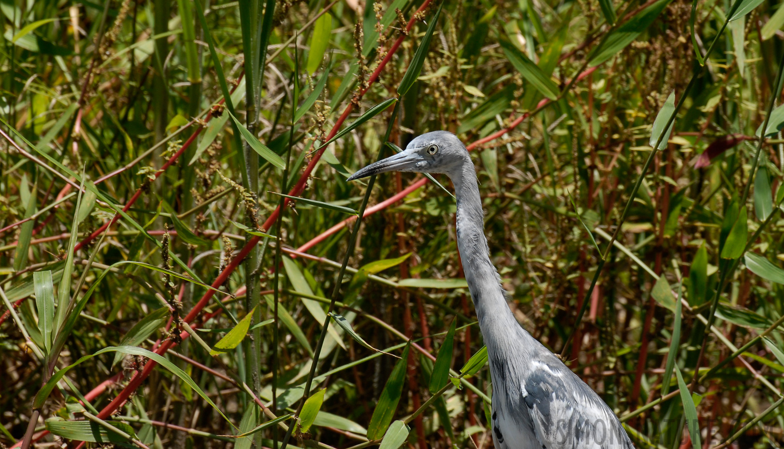 Little Blue Heron [Egretta caerulea]