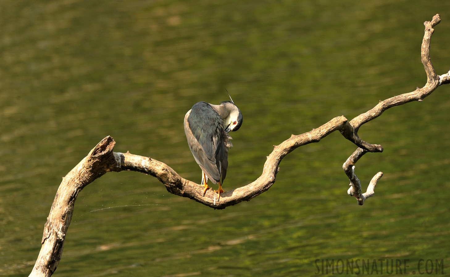 Black-crowned night heron [Nycticorax nycticorax nycticorax]