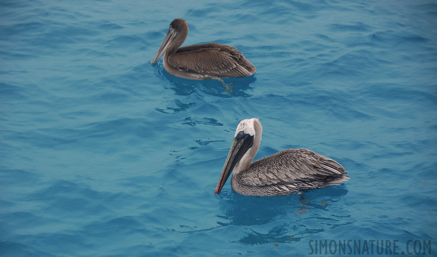 Brown pelican [Pelecanus occidentalis urinator]