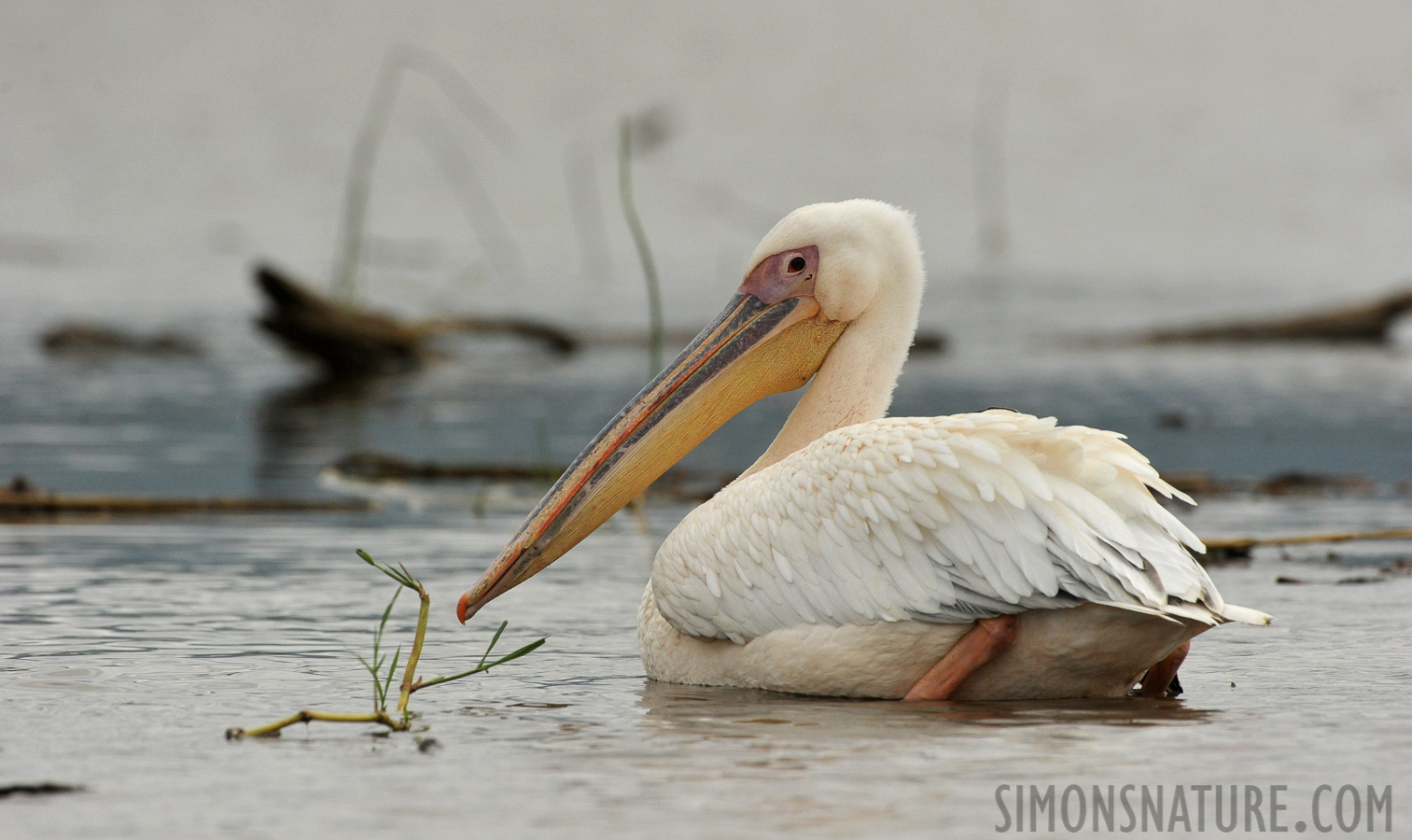 Great white pelican [Pelecanus onocrotalus]