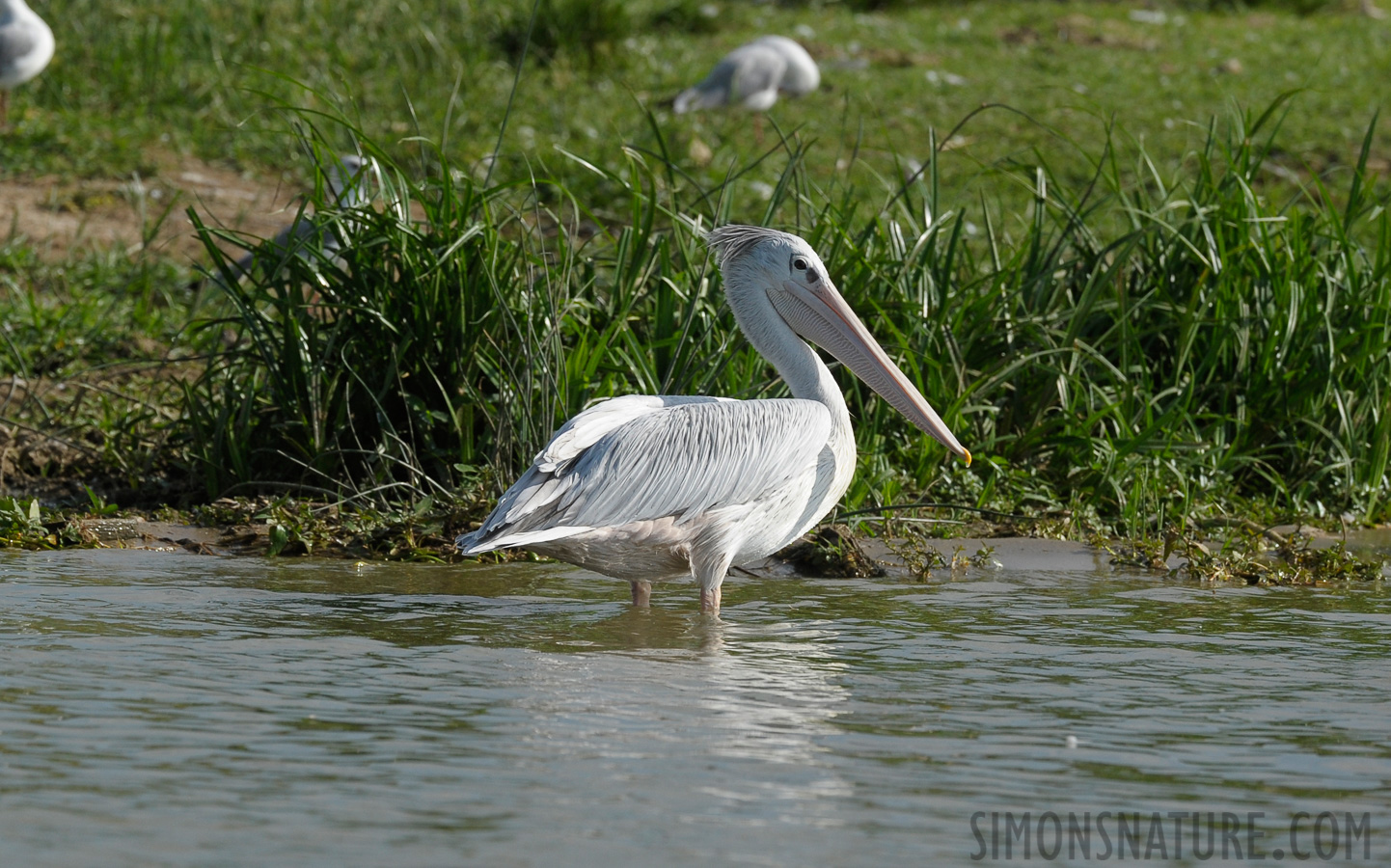 Pink-backed Pelican [Pelecanus rufescens]