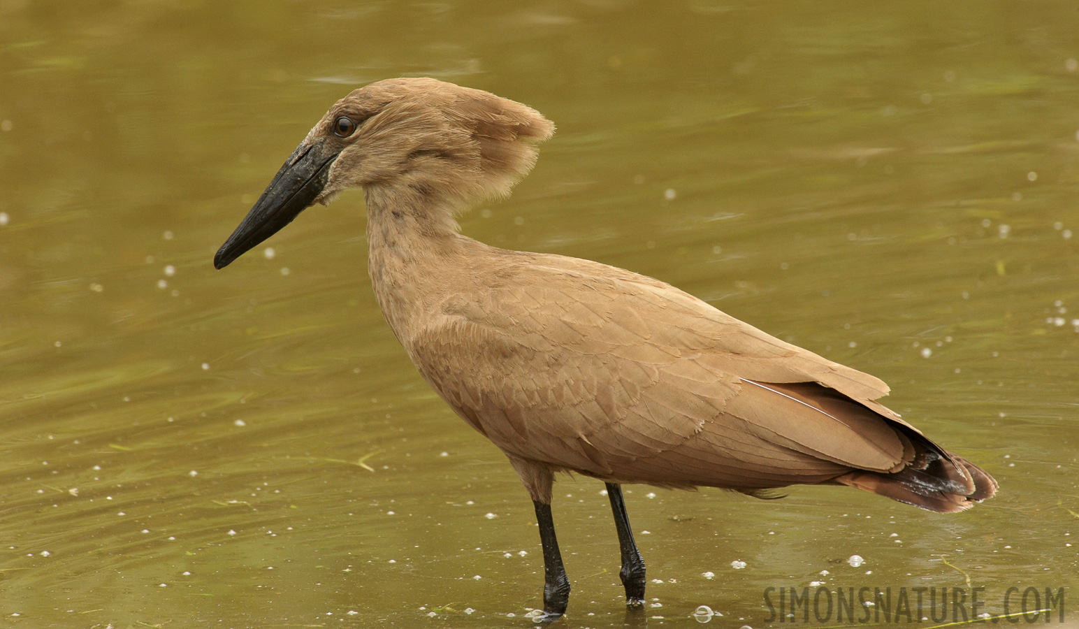Hamerkop [Scopus umbretta umbretta]