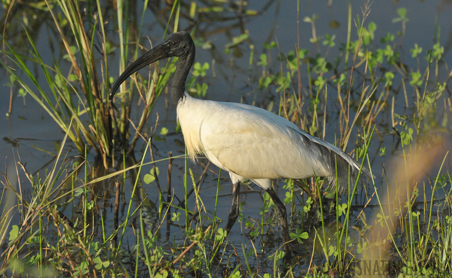 Black-headed ibis [Threskiornis melanocephalus]