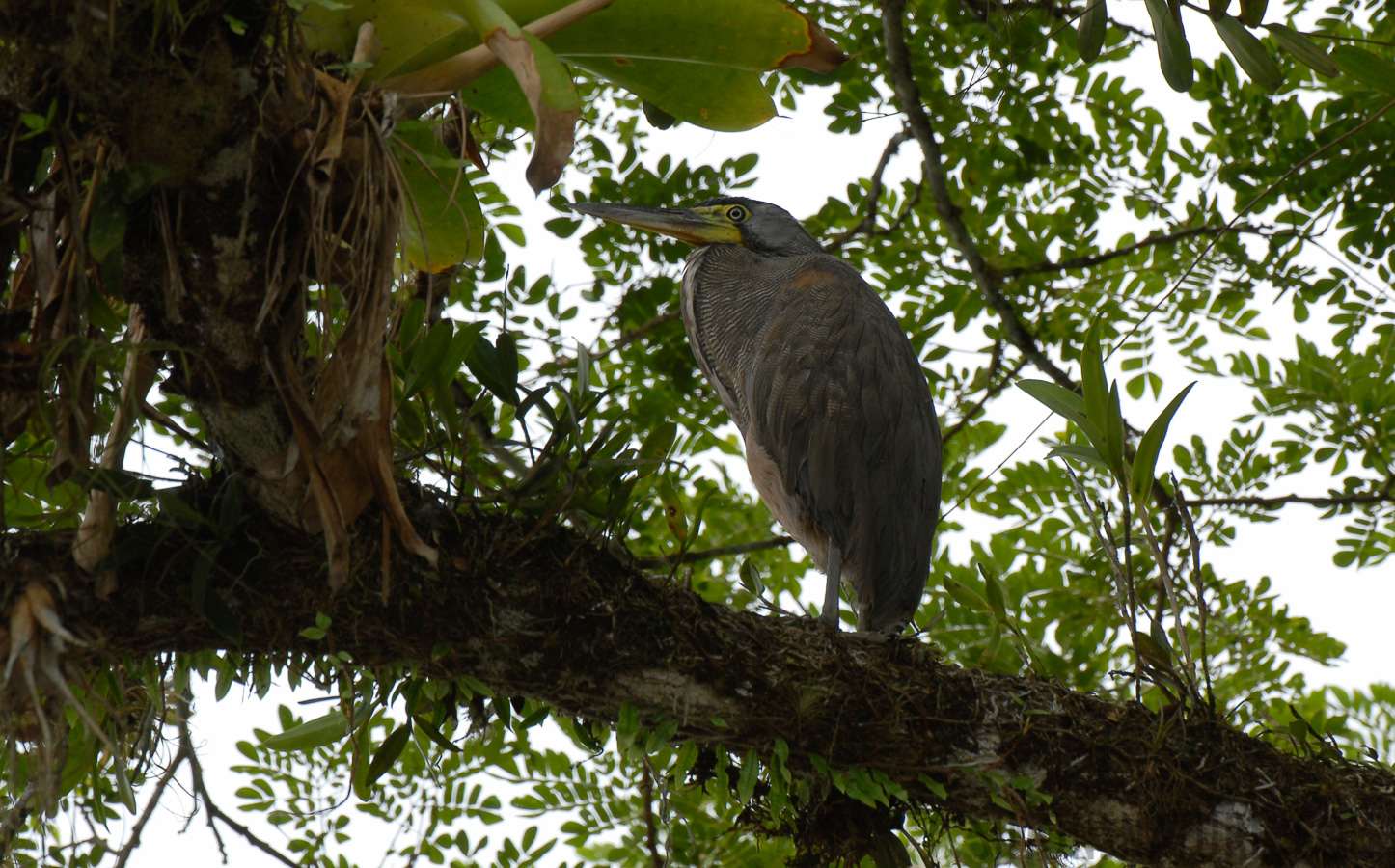 Bare-throated Tiger Heron [Tigrisoma mexicanum]