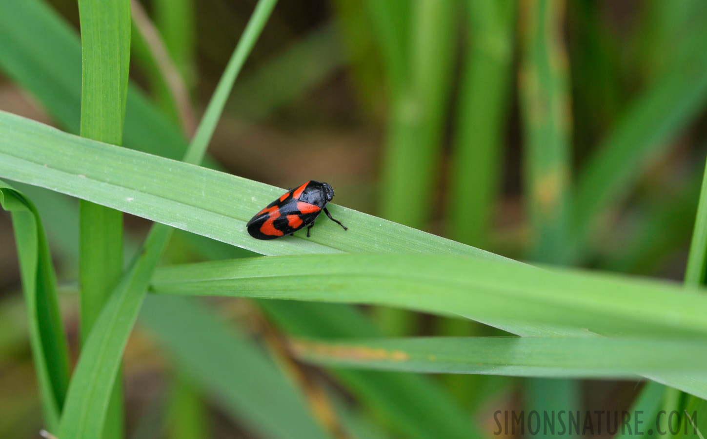 Black-and-red froghopper [Cercopis vulnerata]