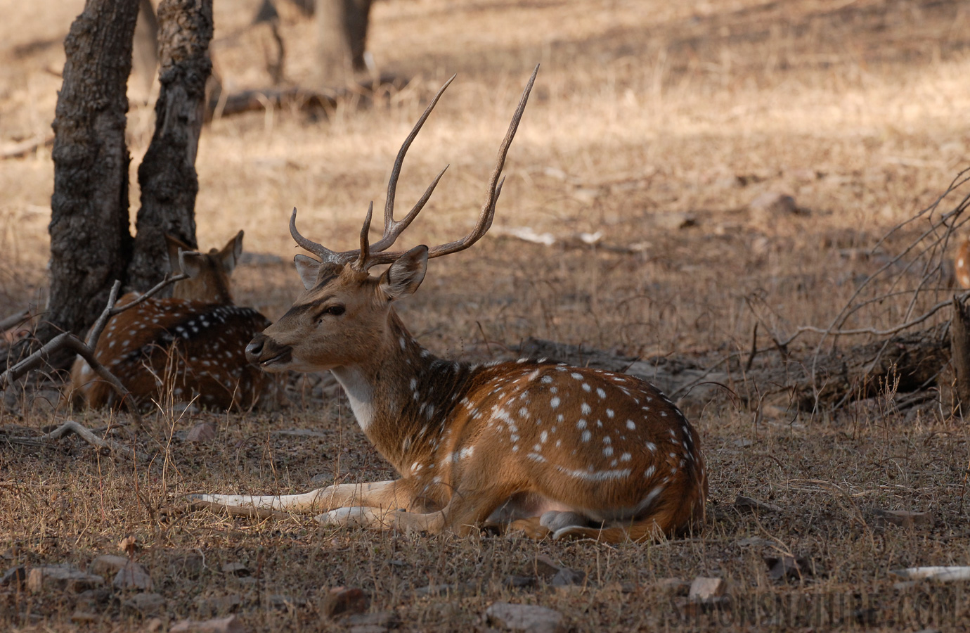 Spotted Deer [Axis axis]