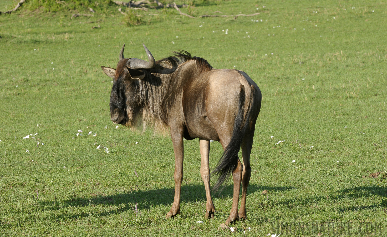 Western white-bearded wildebeest [Connochaetes mearnsi]
