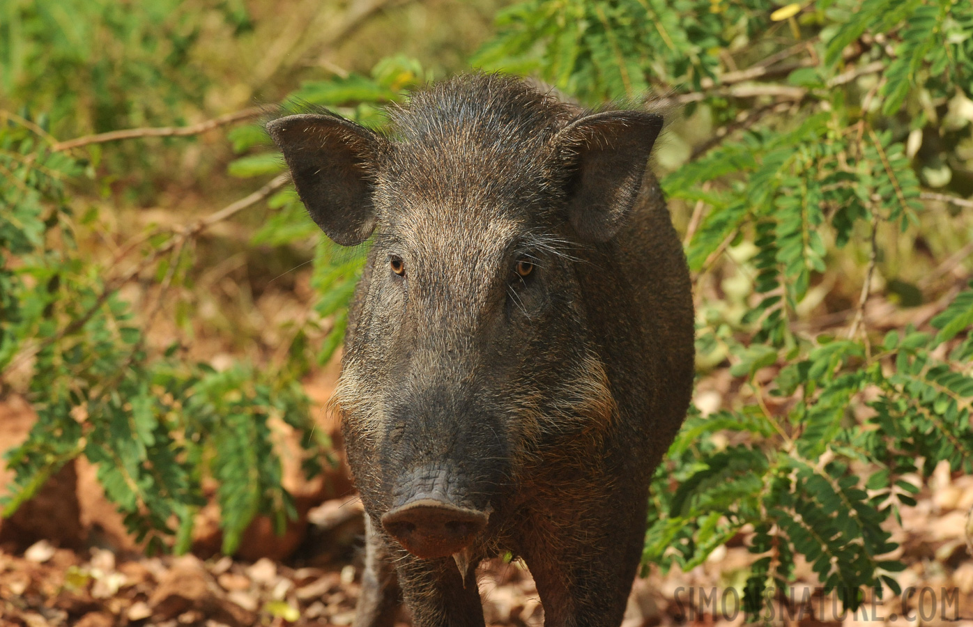 Indian boar [Sus scrofa cristatus]
