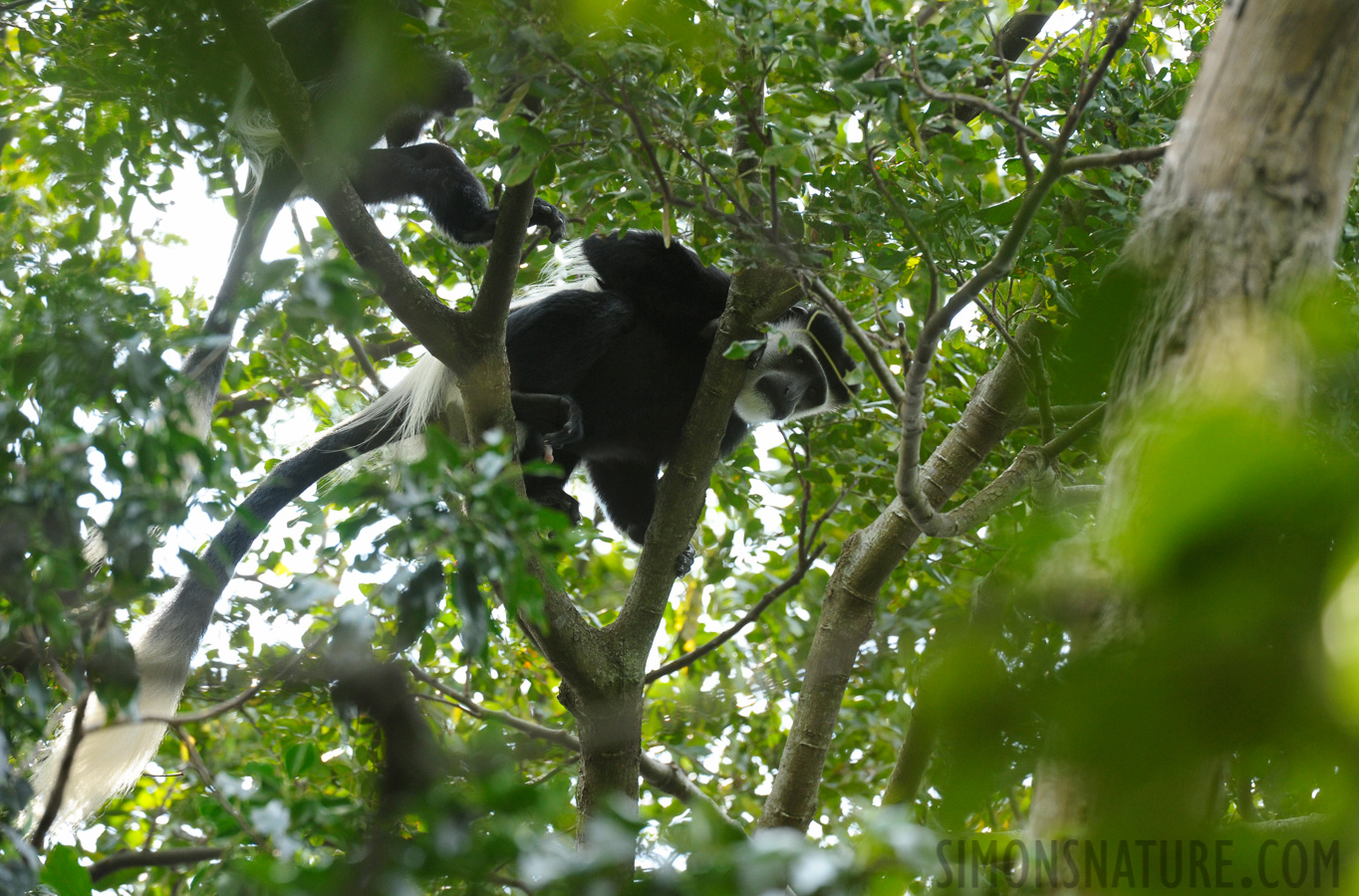 Mantelaffe [Colobus guereza occidentalis]
