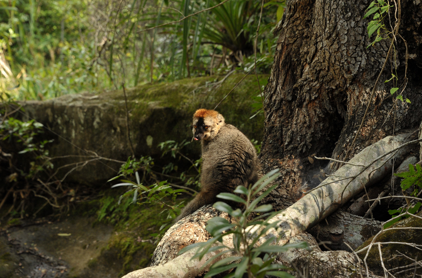 Red-fronted lemur [Eulemur rufifrons]