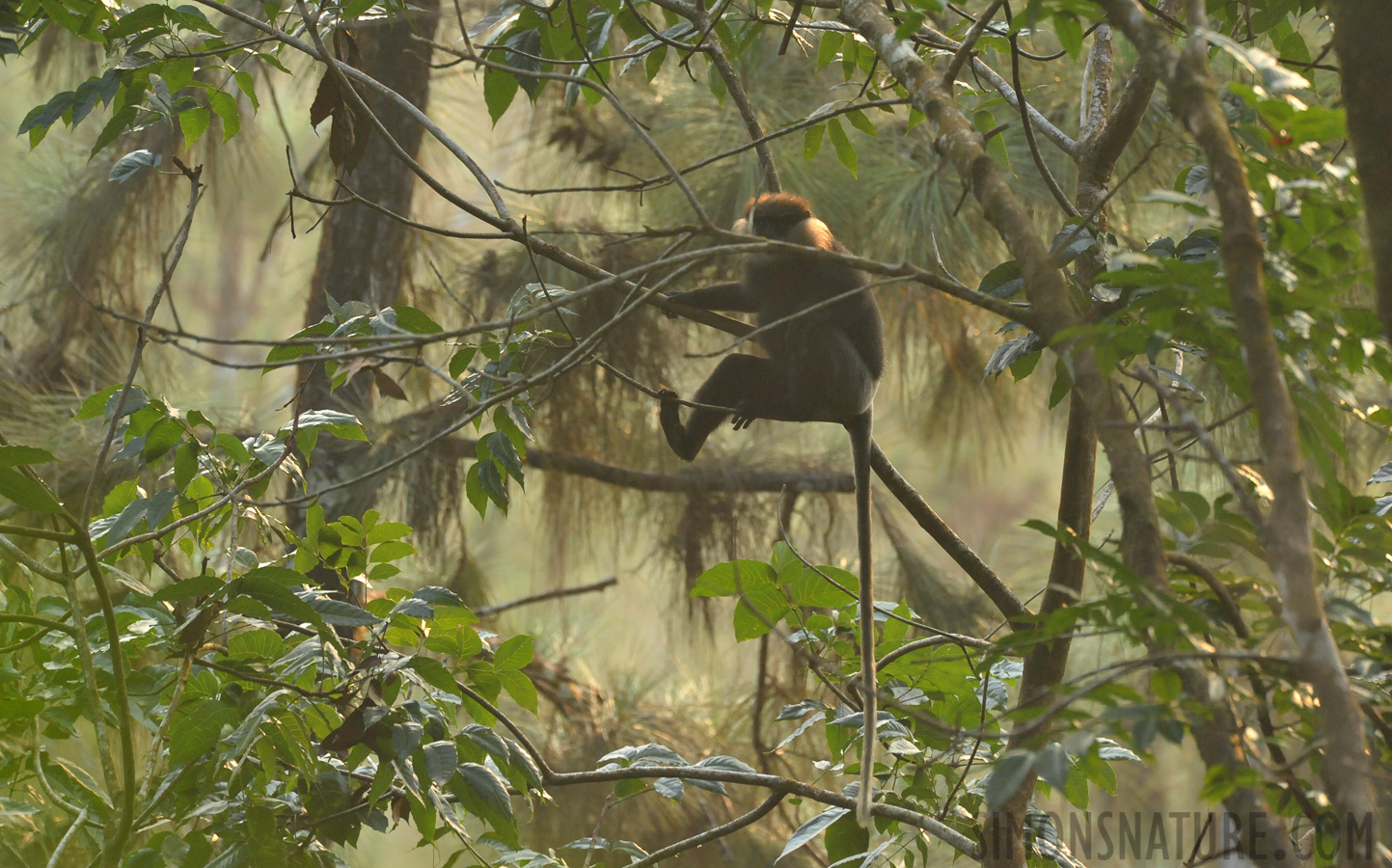 Southern lowland wetzone purple-faced langur [Trachypithecus vetulus vetulus]
