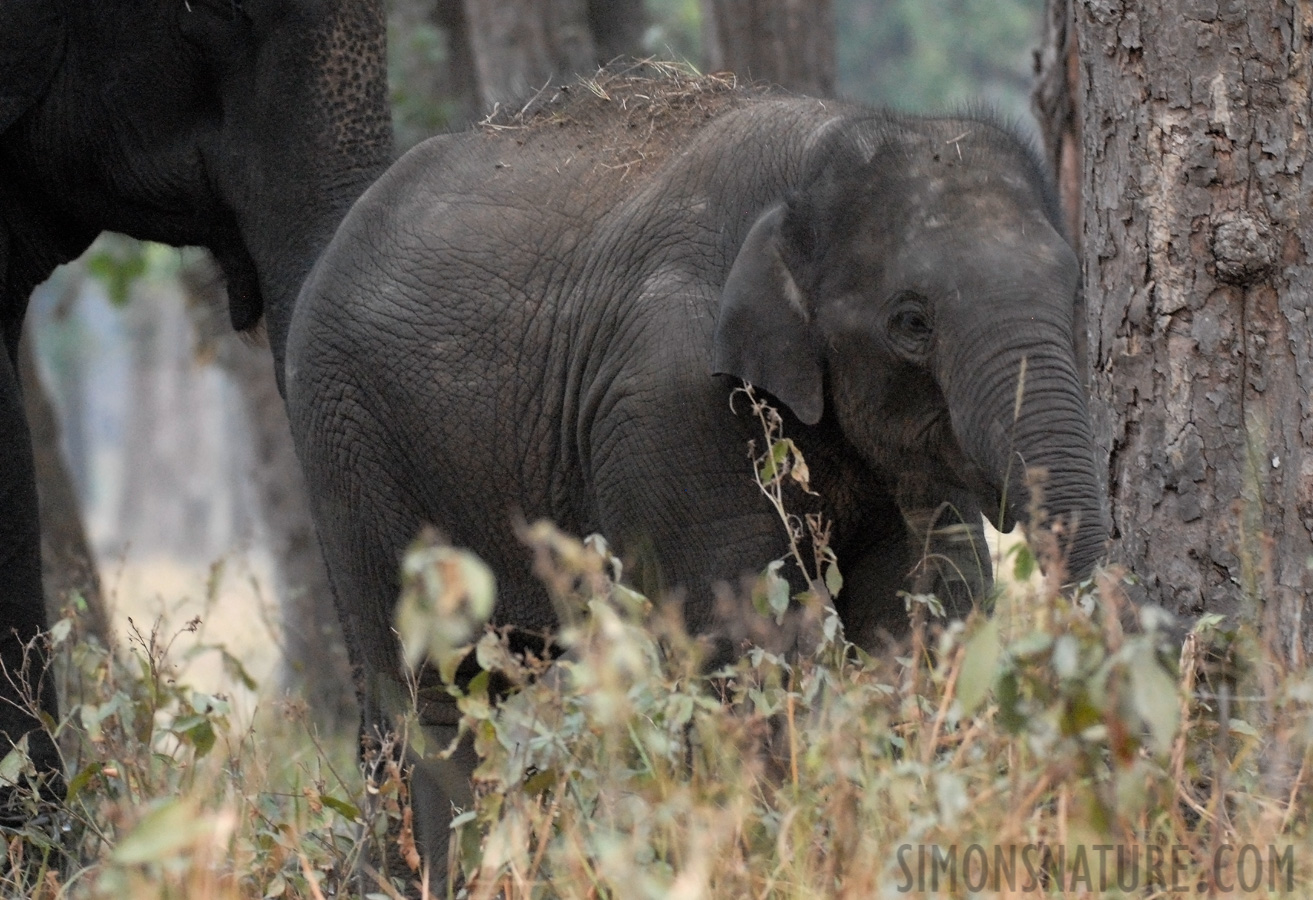 Indian Elephant [Elephas maximus indicus]