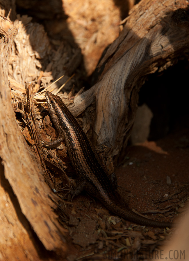 Western three-striped skink [Trachylepis occidentalis]